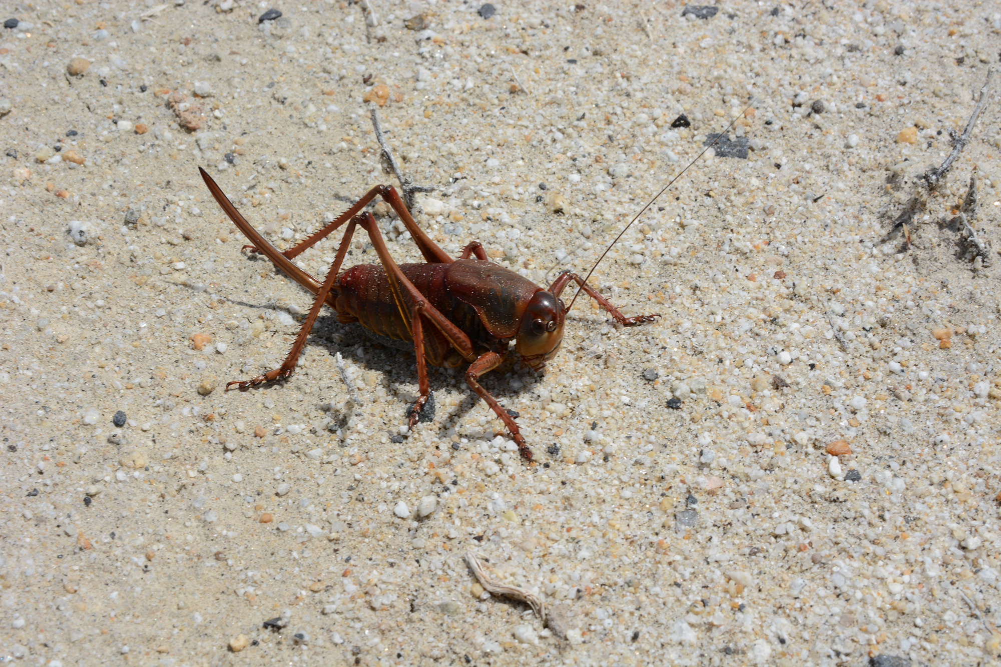 Report Mormon cricket sightings to the Entomology Laboratory.