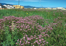 Canada Thistle Infestation 215x150