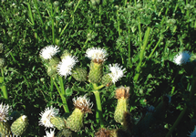 Canada Thistle Seed Head 215x150