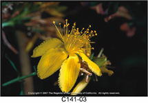 Common StJohnswort Flower 215x150