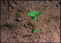 Common StJohnswort Seedling 215x150