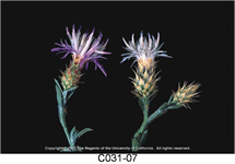 Diffuse Knapweed Flower 215x150