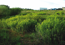 Leafy Spurge Infestation 215x150