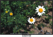 Mayweed Chamomile Flower 215x150