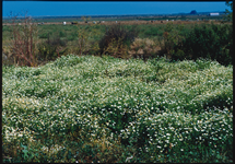 Mayweed Chamomile Infestation 215x150