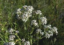 Perennial Pepperweed Flower 215x150