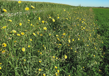 Perennial Sowthistle Infestation 215x150