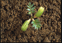 Puncturevine Seedling 215x150