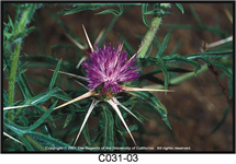 Purple Starthistle Flower 215x150