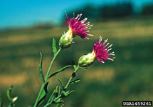 Russian Knapweed Flower 215x150