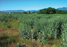 Scotch Thistle Infestation 215x150