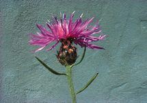 Spotted Knapweed Flower 215x150