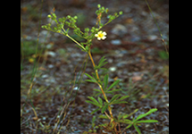 African mustard - adult plant