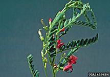 Swainsonpea Leaves Stem 215x150