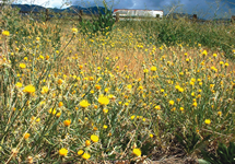 Yellow Starthistle Infestation 215x150