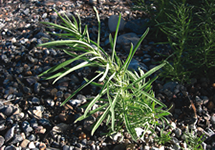 Yellow Toadflax Leaves Stem 215x150