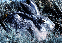 Jackrabbits & other hares