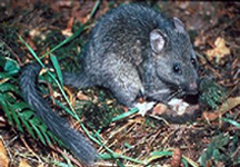 Woodchucks (Woodrats)